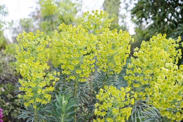 euphorbia-characias-subsp-wulfenii-3