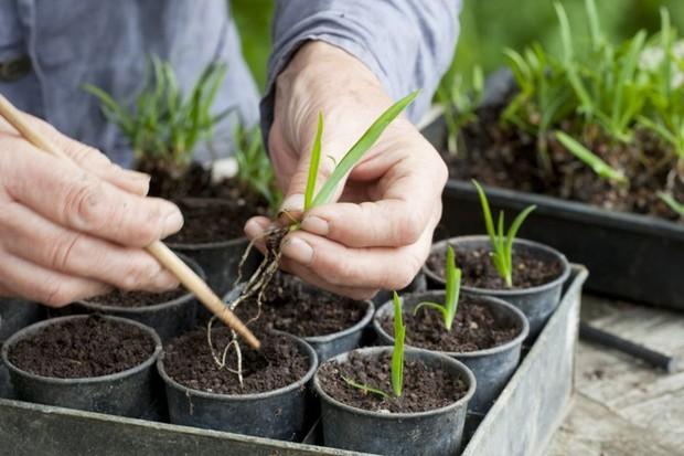 potting-up-individual-agapanthus-seedlings-3