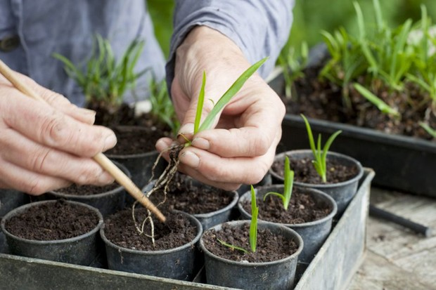 potting-up-individual-agapanthus-seedlings-3