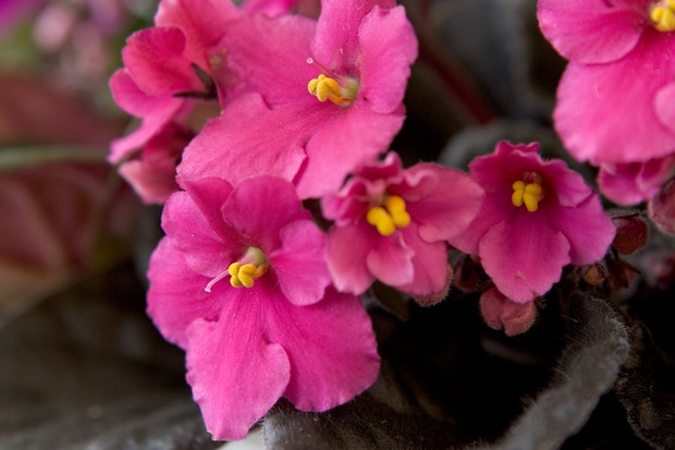 Pink African violet flowers