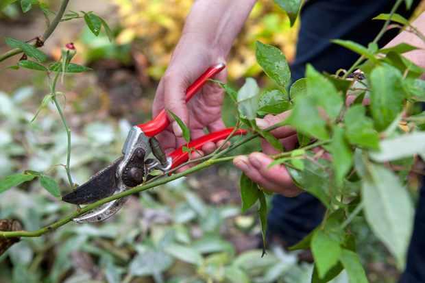 pruning-a-rose-stem-2