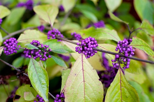 Vivid-purple berries and golden foliage of beauty berry