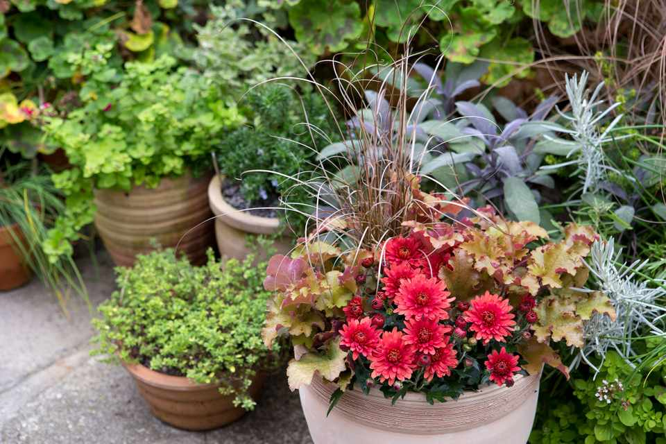 How to create a chrysanthemum, heuchera and carex container
