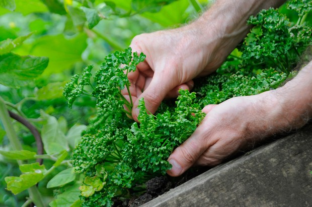 How to pick herbs - picking parsley