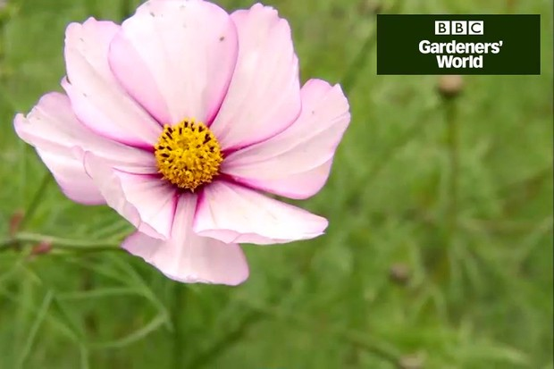 How to collect cosmos seeds video