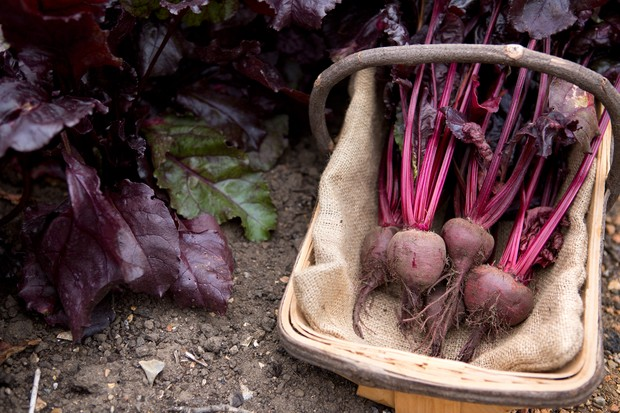 harvested-beetroot-4