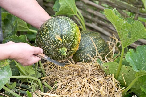 harvesting-squash-2
