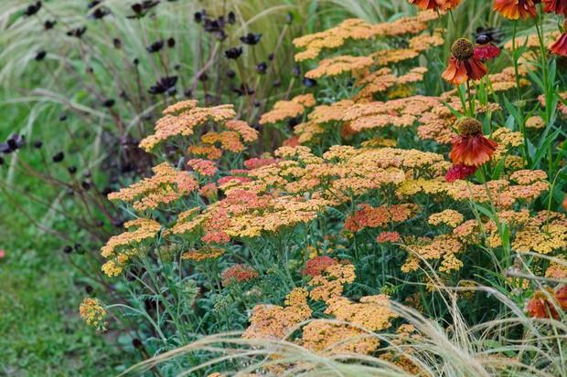 Orange achilleas in flower