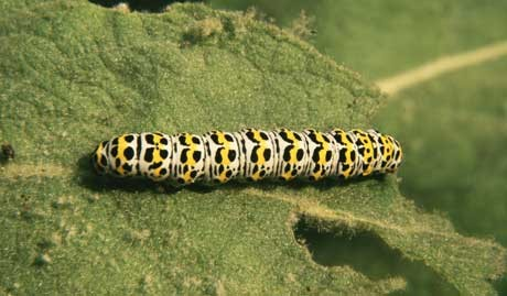 A yellow, black and cream mullein moth caterpillar eating a leaf