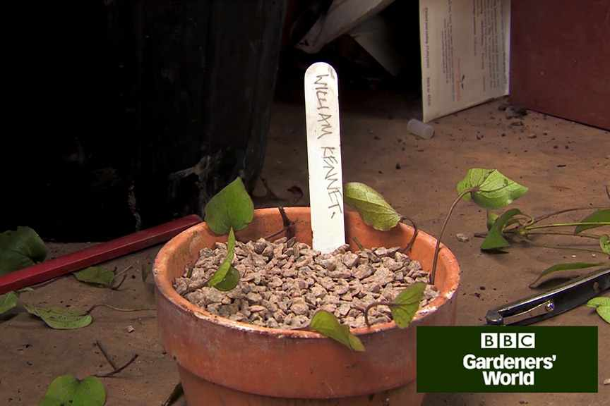How to take clematis cuttings video