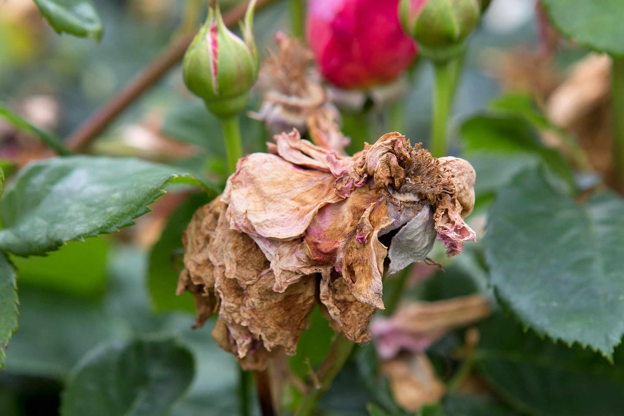 A withered rose flower that failed to open due to rose bloom balling