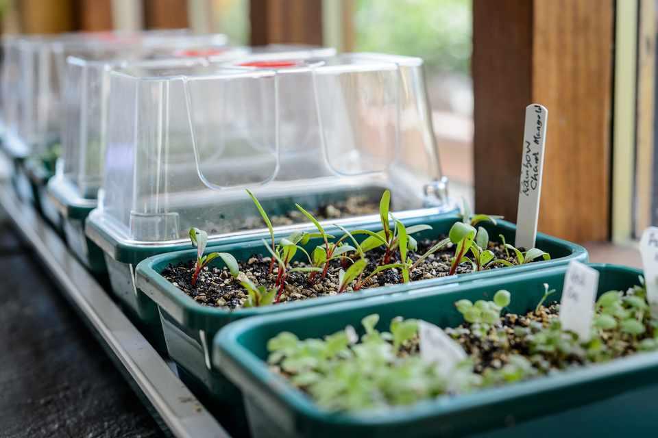 Seedlings in propagator trays on a windowsill