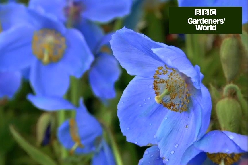 How to grow blue Himalayan poppies video