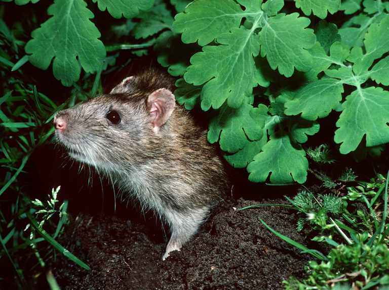 How to Deal with Rats in the Garden - BBC Gardeners' World Magazine