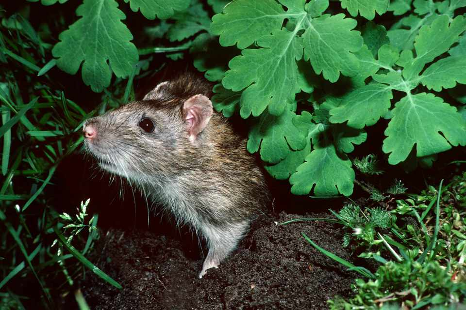 How to Deal with Rats in the Garden - BBC Gardeners' World