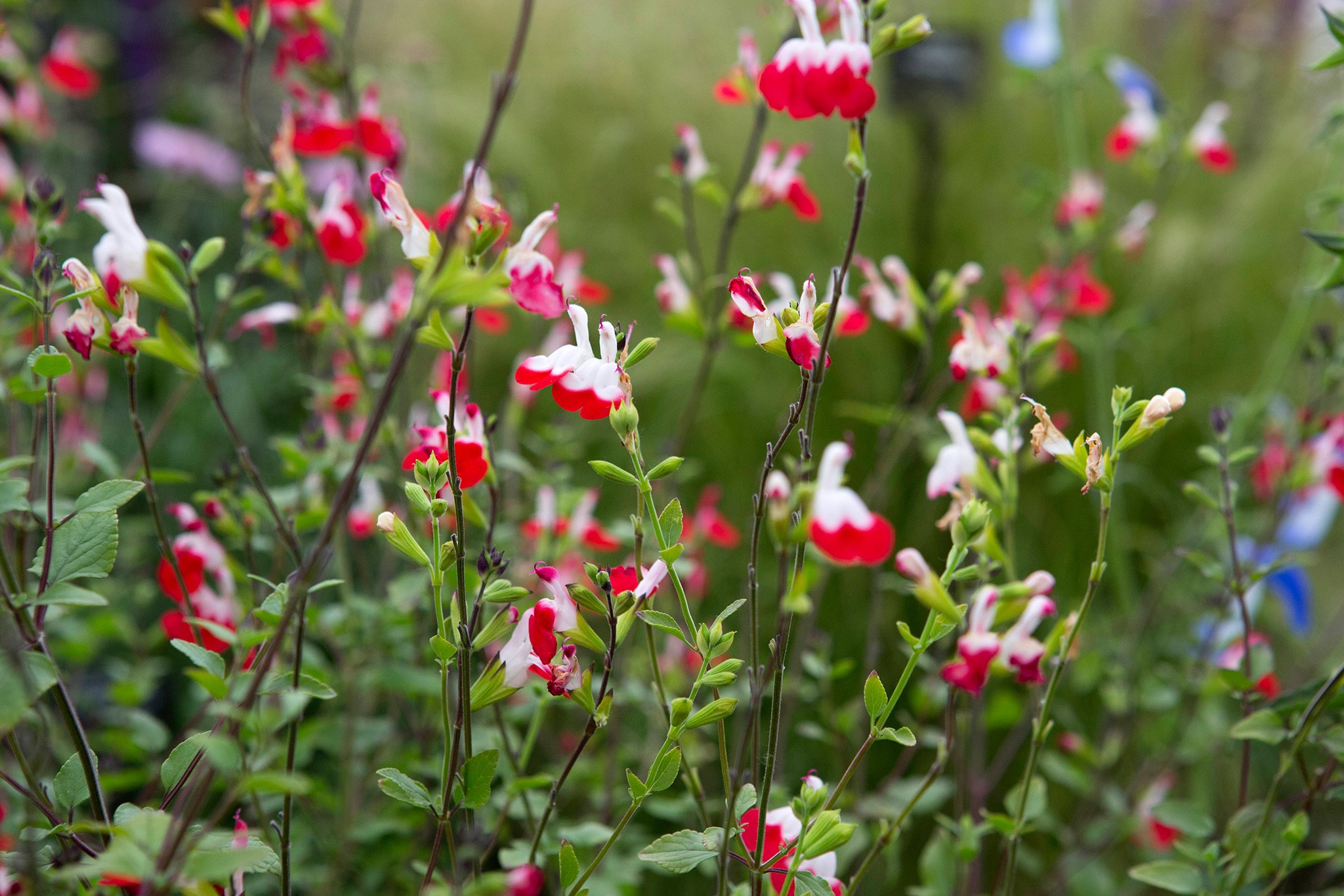 Salvia x jamensis 'Hot Lips'