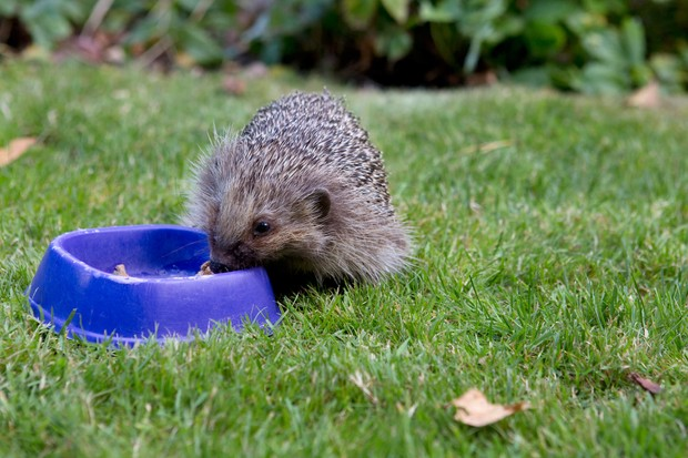 A hedgehog eating from a dish on a lawn