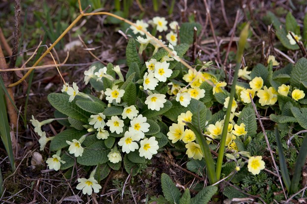 primula-vulgaris-4