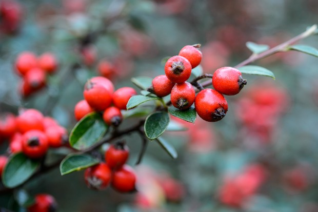 red-cotoneaster-berries-2