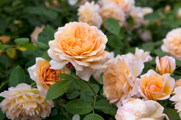rosa-grace-2