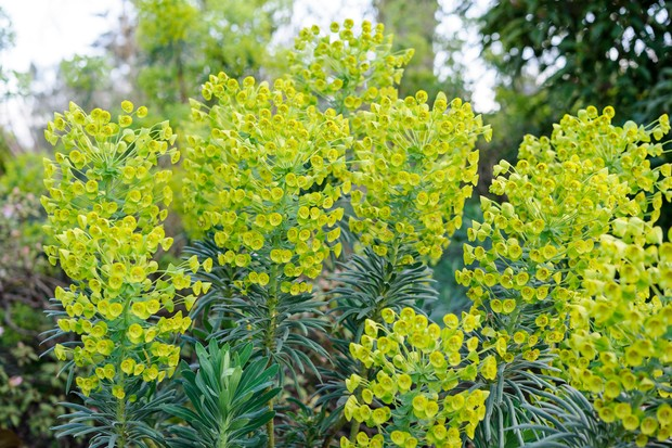 Tall spires of lime-green euphorbia flowers