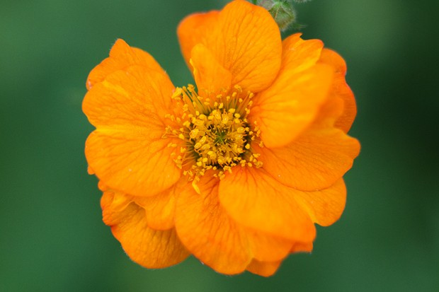 A bright orange Geum 'Prinses Juliana' bloom