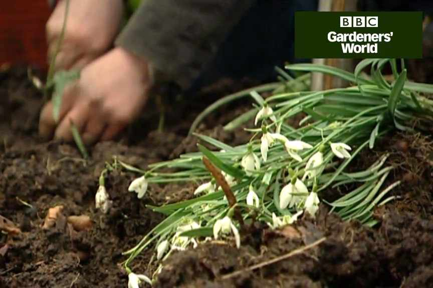 How to lift and divide snowdrops
