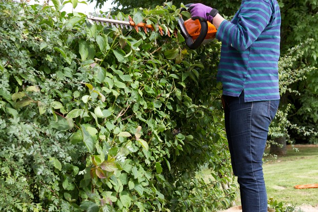 Trimming a hedge with electric hedgecutters