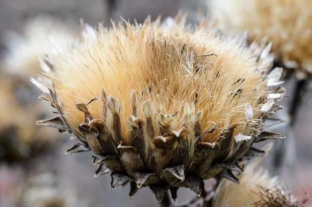 cardoon-seedhead-2