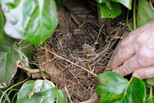Checking that a birds' nest in a hedge is empty