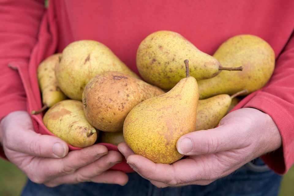Pear fact file