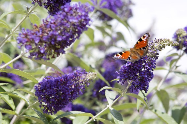 Buddleja with a nectaring peacock butterfly