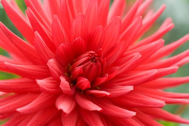 Red 'Doris Day' cactus dahlia