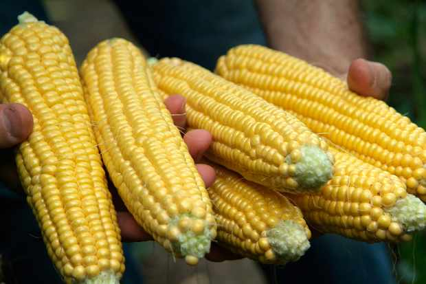Freshly harvested sweetcorn