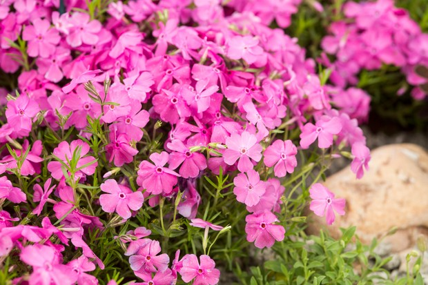 Pink flowers of phlox 'McDaniel's Cushion'