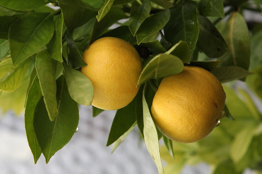 Quick Tips How can I stop caterpillars eating my lemon tree