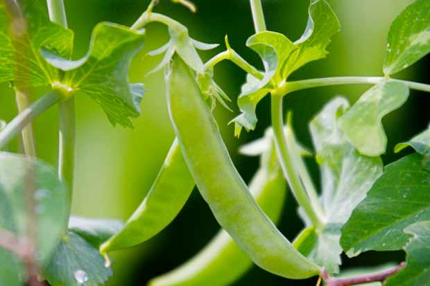 How to grow sugar snap peas