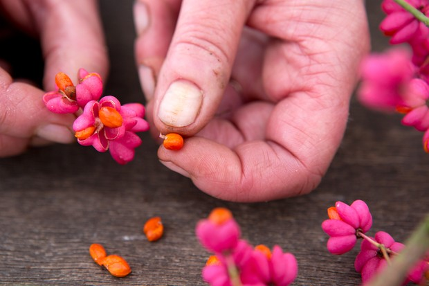 Removing bright orange spindle tree seeds from their bright pink seed capsules