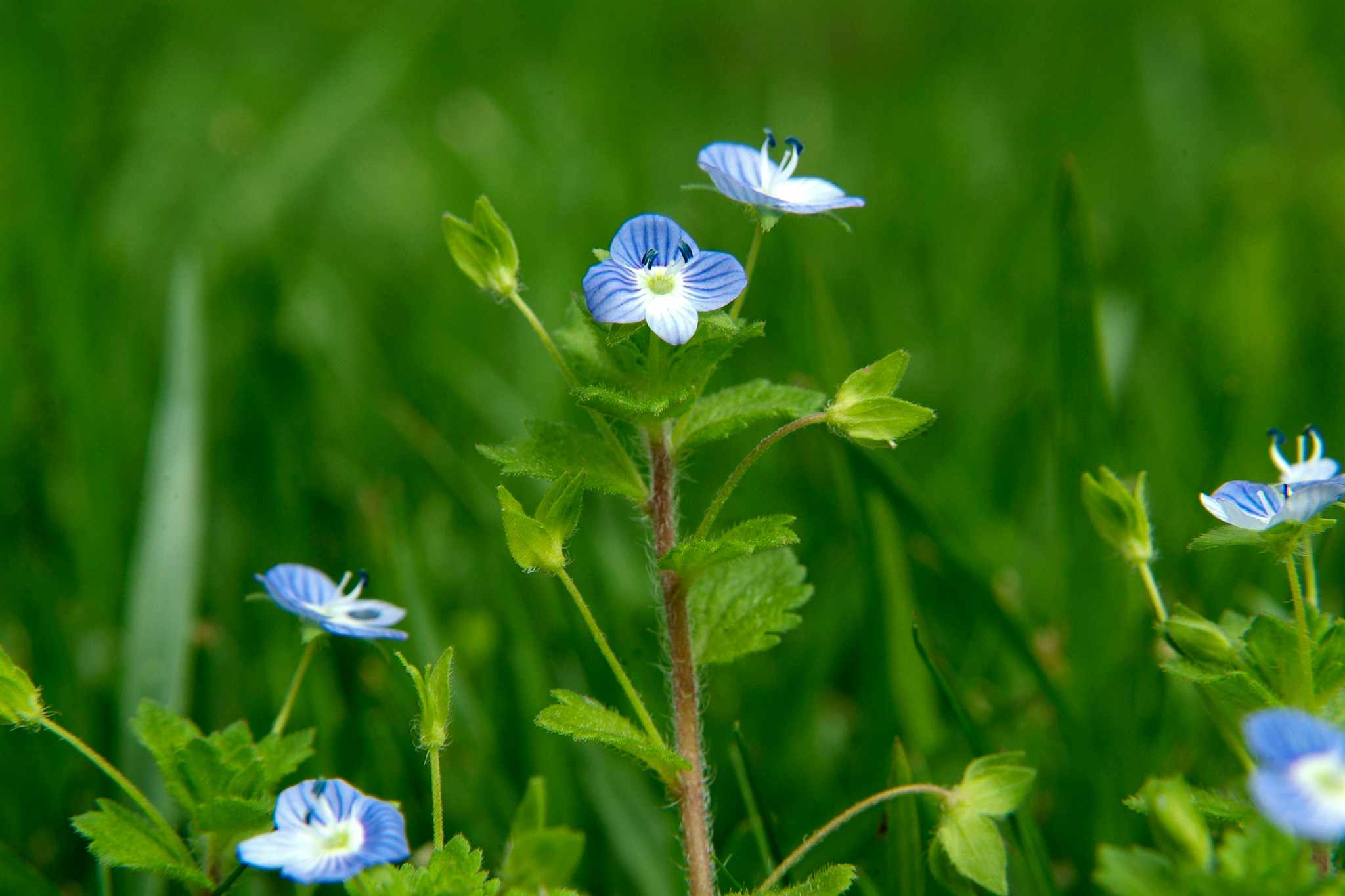Tiny blue flowers of speedwell