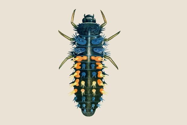 harlequin-ladybird-larvae-2