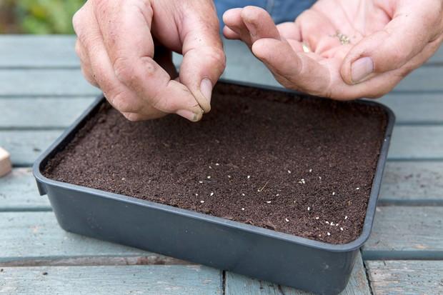 Sowing parsley seeds