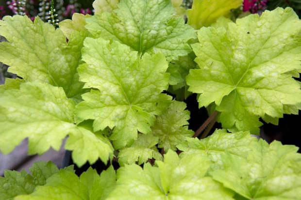 Pale lime-green heuchera leaves
