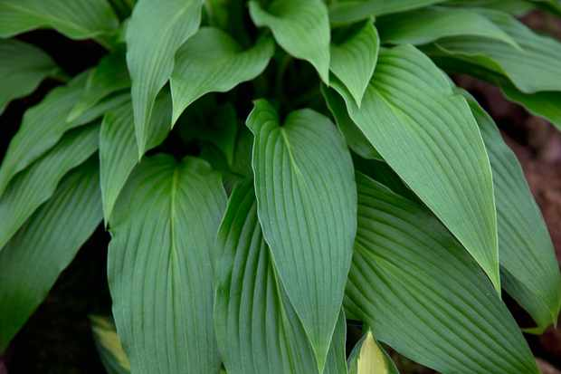 Hosta foliage - Grow Guide