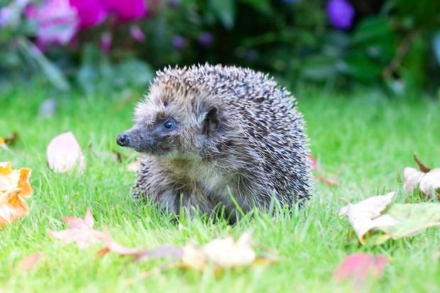 A hedgehog on a lawn