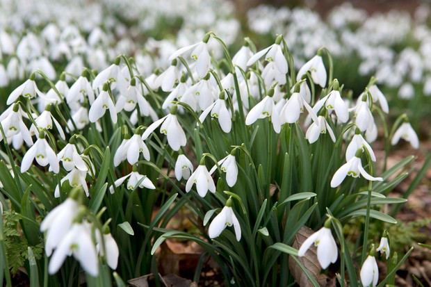 A swathe of blooming snowdrops
