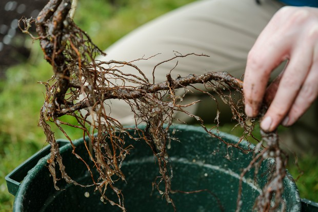 Soaking bare roots of raspberry canes before planting