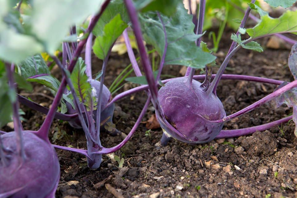 Fact File Kohlrabi Bbc Gardeners World Magazine