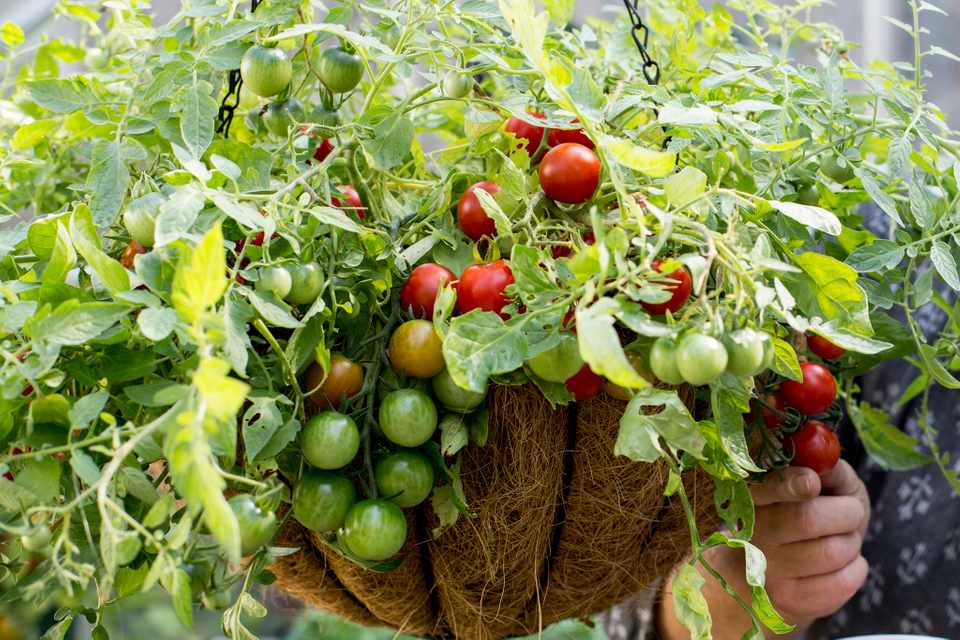 Tomato hanging basket