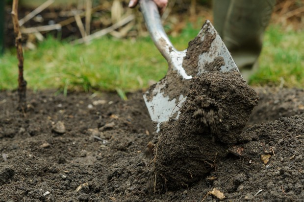 Planting long-cane raspberries - digging the soil