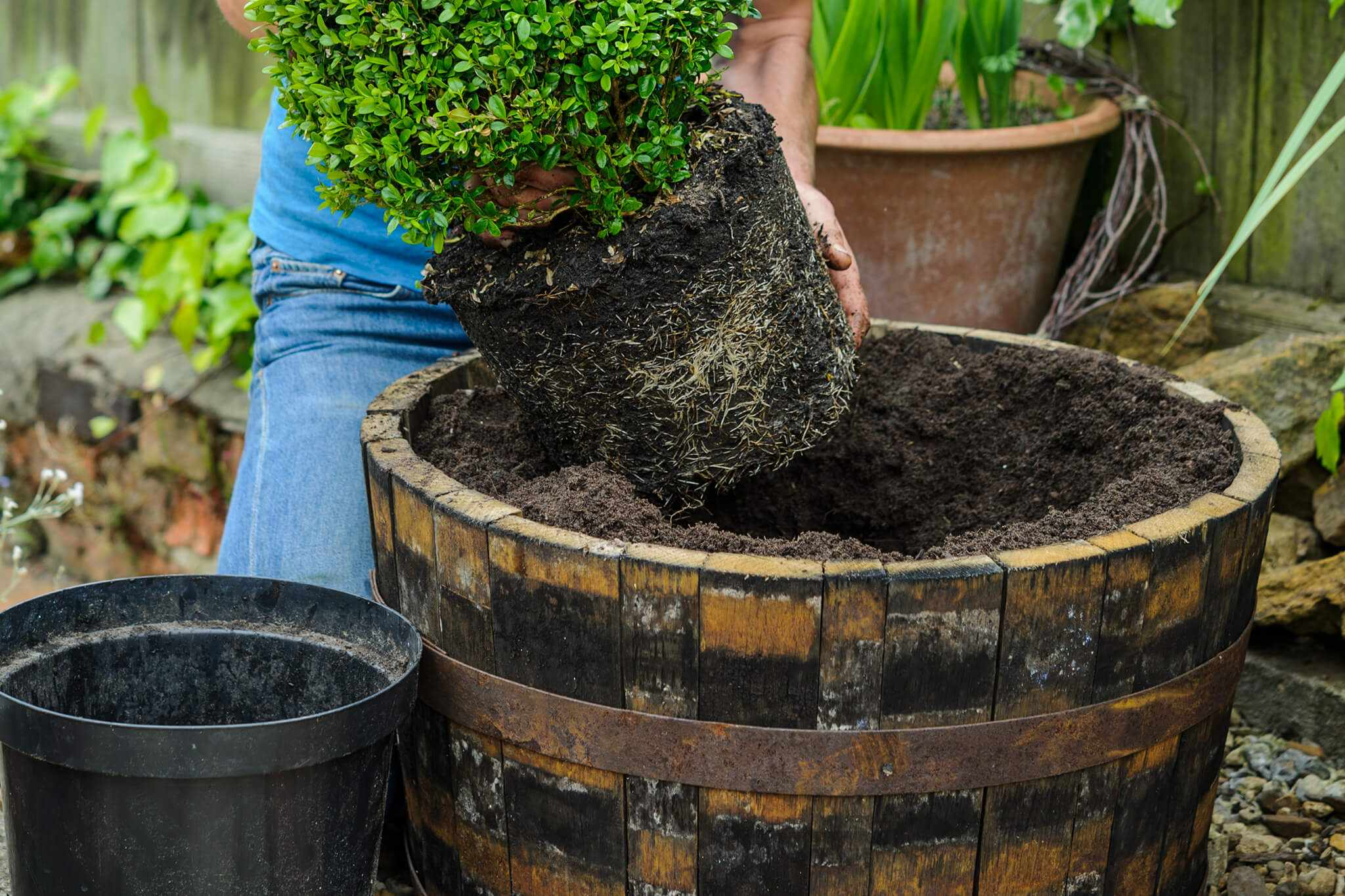 Potting up box topiary cone